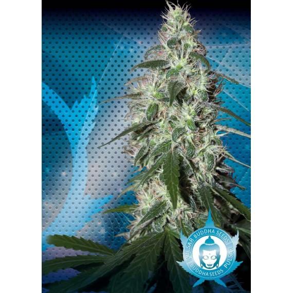 Buddha Seeds - Pulsar (5f)  **