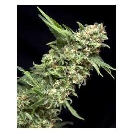 Pyramid Seeds - Alpujarreña (1f)