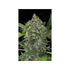 Dinafem - White Cheese Automatica (5f)