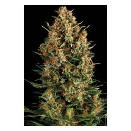 Pyramid Seeds - Auto Wembley (1f)