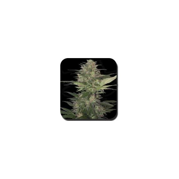Buddha Seeds - Blister Red Dwarf (10f)