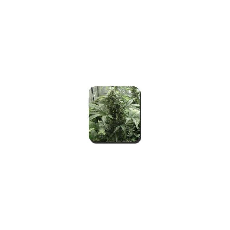 Buddha Seeds - Blister White Dwarf (10f)