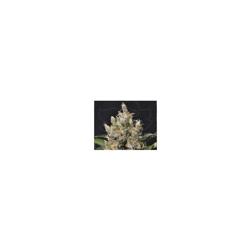 CBD Seeds - Kali (6f)