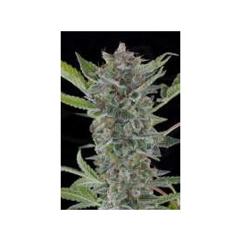Dinafem - White Widow Automatica (1f)