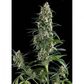 Pyramid Seeds - Amnesia Gold (1f)