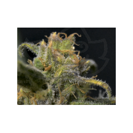 CBD Seeds - Auto Northern (6f)