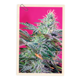 Sweet Seeds - Sweet Cheese Auto (5+2 promo)