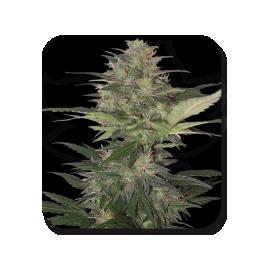 Buddha Seeds - Red Dwarf (5f) **